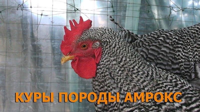Амроксы, первое яйцо 11 08 17/Мой уютный дом