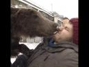 Медведь помог забрать из больницы дрессировщика