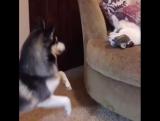 Жестокая попытка задушить кота подушкой