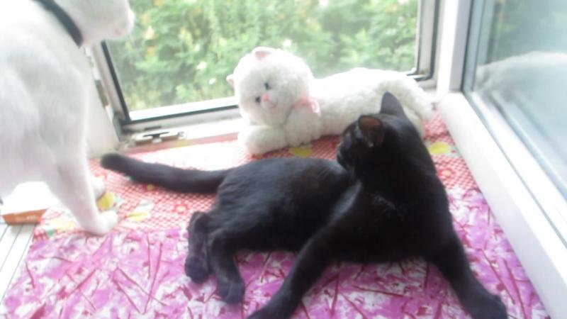 Два котика ищут дом Черному котику 4 месяца пролечен от глистов и обработан от блох шустрый и ласковый Умничка приучен в ту