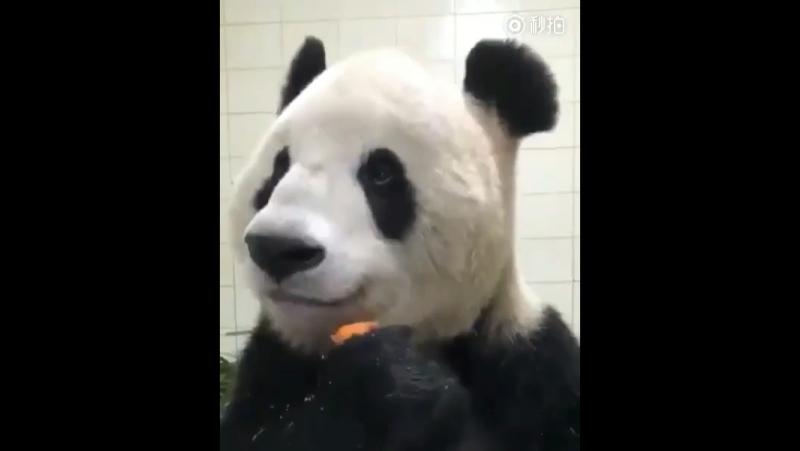 панда ест морковочку
