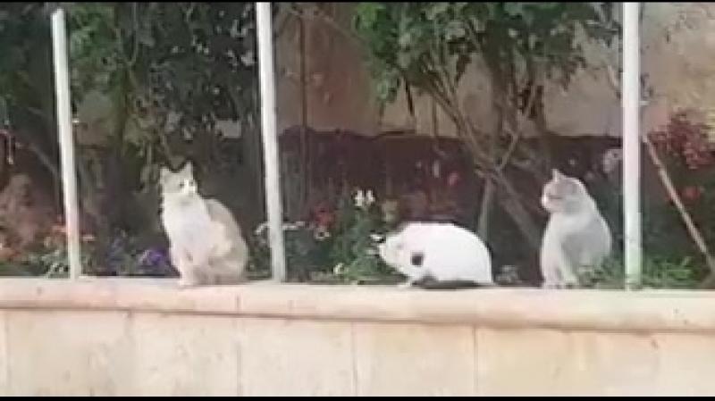 Сирийские коты — настоящие муджахиды. Выстрелов почти не боятся httpst.coMk6wje1opf