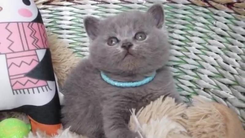 British Shorthair boy 1 month