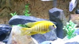 Aulonocara Baenschi Benga Yellow Peacock