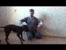От щенка до легавой собаки. Серия 13 - Подача