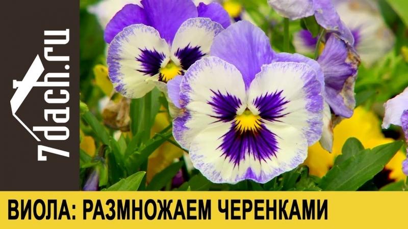 Виола (анютины глазки)- размножаем черенкованием - 7 дач