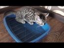Как приучить котенка к туалету - лотку. Советы ветеринара