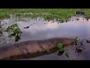 Анаконда. Самая большая змея на планете убивает грубой силой а не ядом.