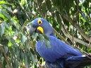Macaw Hyacinth Macaw Anodorhynchus hyacinthinus