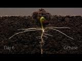 Time-Lapse роста корневой и верхней частей растения