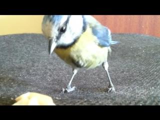 смешные животные - короткие видео приколы - ручные синицы - lustige Videos - юмор Humor