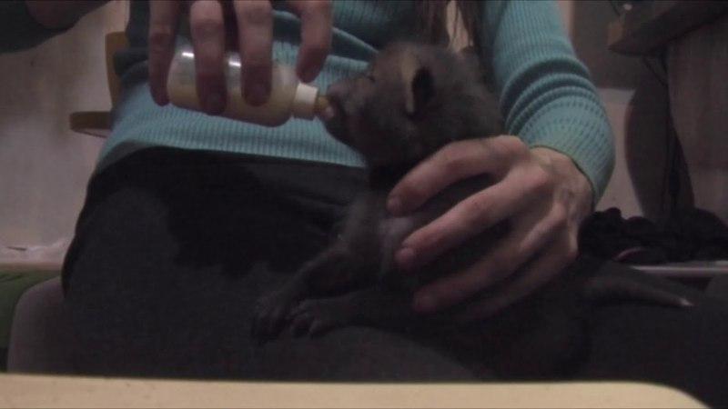 Выкармливание новорождённых лисят, лисята выкормыши