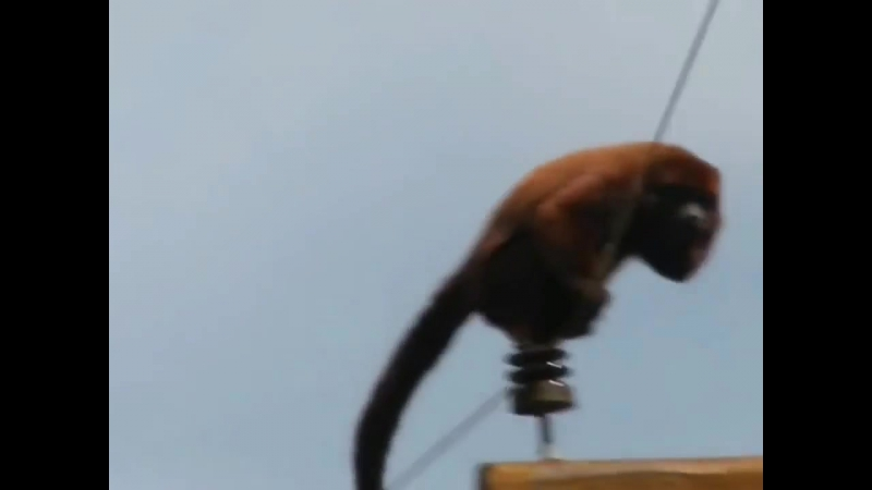 Monkey-has-come-under-voltage-15000-V