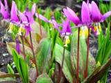 Хороши весной в саду цветочки