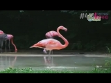 Фламинго фанат Майкла Джексона (#410)