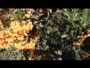 Декоративные кустарники Кустарник пираканта Посадка семенами пираканты эксперимент