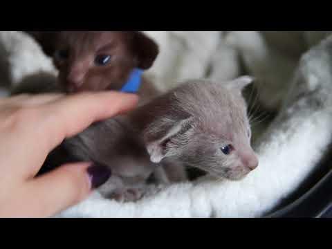 Шоколадные и лиловые ориентальные котята из питомника Офир