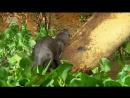 В дебрях Латинской Америки. 4 серия. Пантанал - Сердце дикой Бразилии