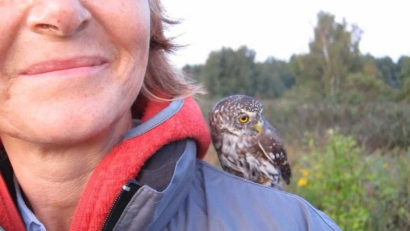 Pygmy-Owl x2 (Glaucidium passerinum)