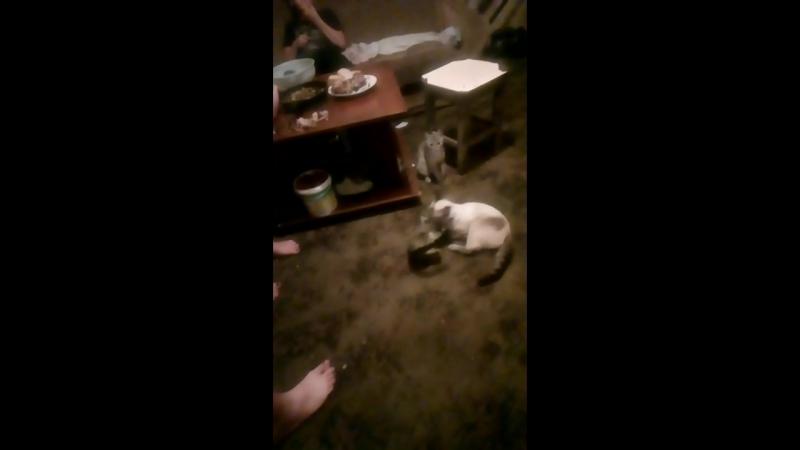 Сумашечшие коты