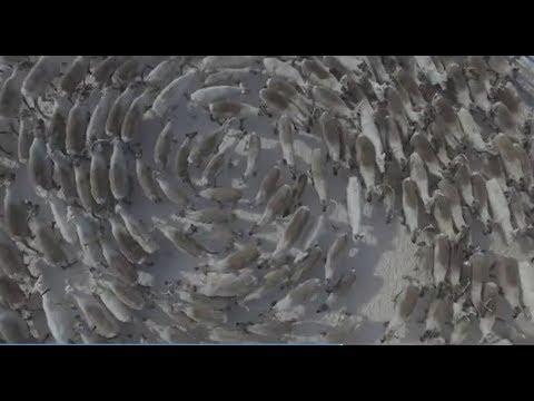 Кружение северных оленей на воле и в корале. Россия, Кольский п-ов, 2018, март
