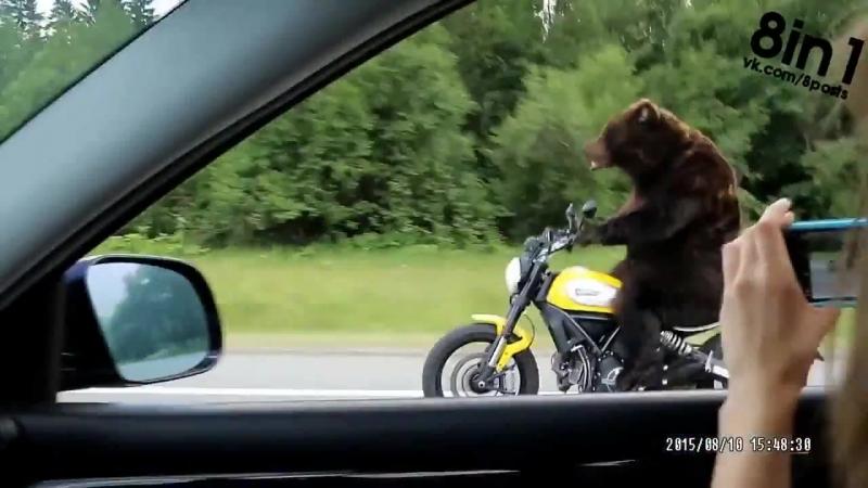 Медведь на мотоцикле едет по дороге в России Bear Riding a Motorcycle on the russian