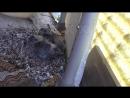 [День 13] - голубь уже прилетает на много реже в гнездо к своим двум птенцам