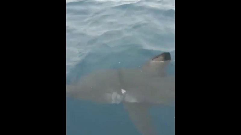 Очередную акулу заметили у берегов Приморья