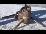 Сотрудники береговой охраны Финского залива помогли оленёнку
