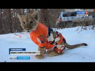 Новосибирец выгулял африканского львенка в зимнем лесу