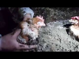 Kat Graham Exposes Hens Buried and Trapped in Feces on Canadian Egg Farms