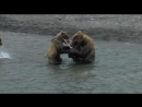 Рыбалка медведицы с медвежатами