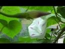 Вьюнок ипомея цветёт разные цветы