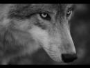290339097195 Советский фильм по книге Джека Лондона БЕЛЫЙ КЛЫК История жизни Бойцового Волка