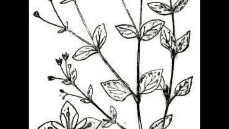 трава мокрица . полезные свойства и и применение в в народной в медицине