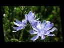 Иван Бунин - Полевые цветы/ Ivan Bunin - wildflowers