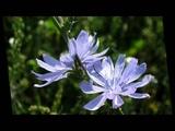 выложила Иван Бунин - Полевые цветы Ivan Bunin - wildflowers