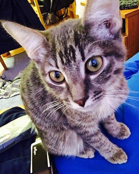 Админ помоги! Пропал кот 🐈в возрасте года,зовут Моська,полностью серог