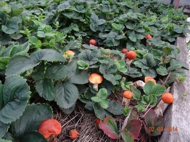 Как вырастить грибы на даче.