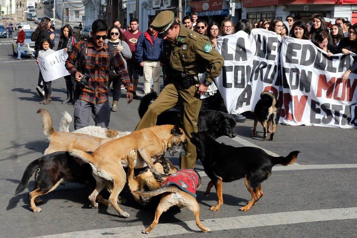 А ну-ка давайте убирайтесь отсюда: Чилийский карабинер в центре уличных собачьих разборок
