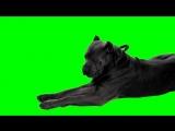 cane corso green screen!