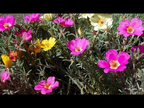8 прелестных цветов,которые заменят мульчу на Вашей клумбе