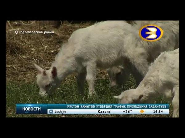 В Башкортостане фермер дарит породистых козлят многодетным семьям
