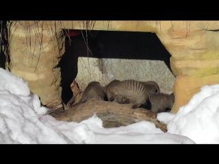 Мангусты в Московском зоопарке