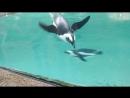 Warm weather African Penguins, Busch Gardens, Tampa