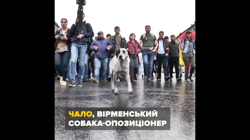 Чало: пес-талісман вірменських протестів