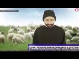 баран с человеческим лицом родился в Дагестане