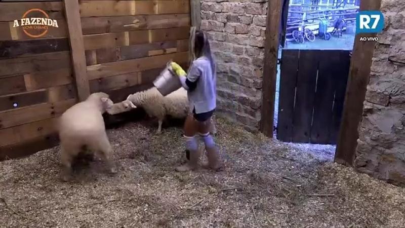 Flávia tem trabalho para cuidar de ovelhas e pede socorro para Yuri