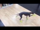 Стильная обувка у собачки