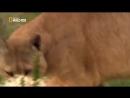 Пума Хищники Большие кошки Документальный фильм National Geographic